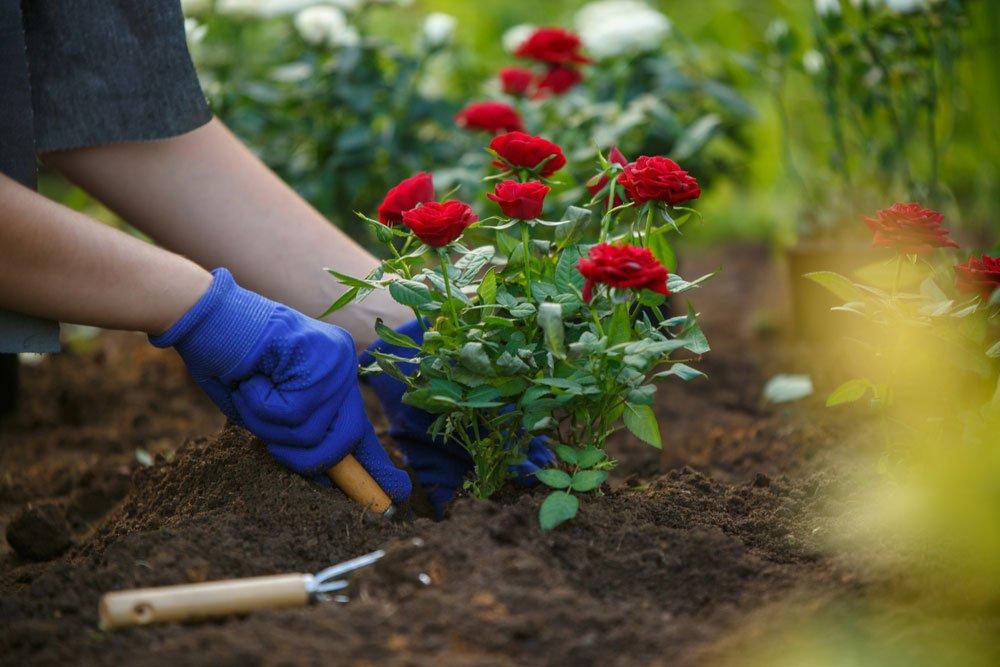 sázení růžového keře do zahrady | Recepty prima nápadů