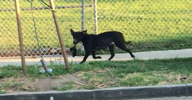 Бездомная собака плакала от боли, думая, что украли одного из ее щенков